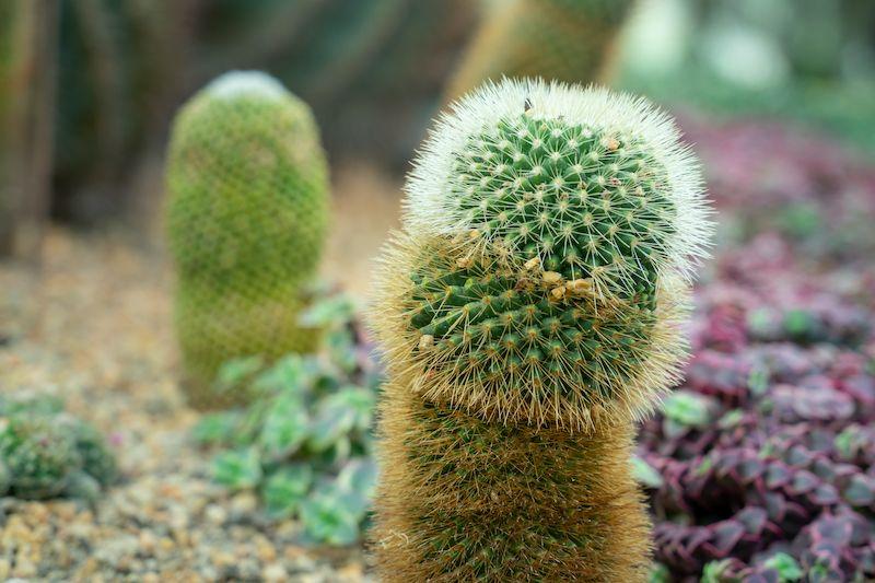 Penis shaped cactus garden